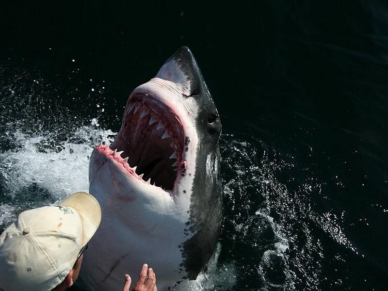 Wallpaper Requin Animaux Fond D écran