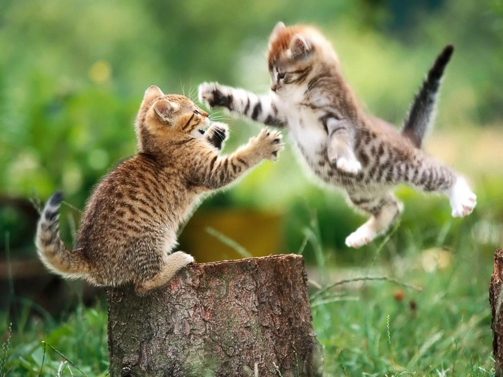 Wallpaper chats et chatons animaux fond d 39 cran - Animaux wallpaper ...