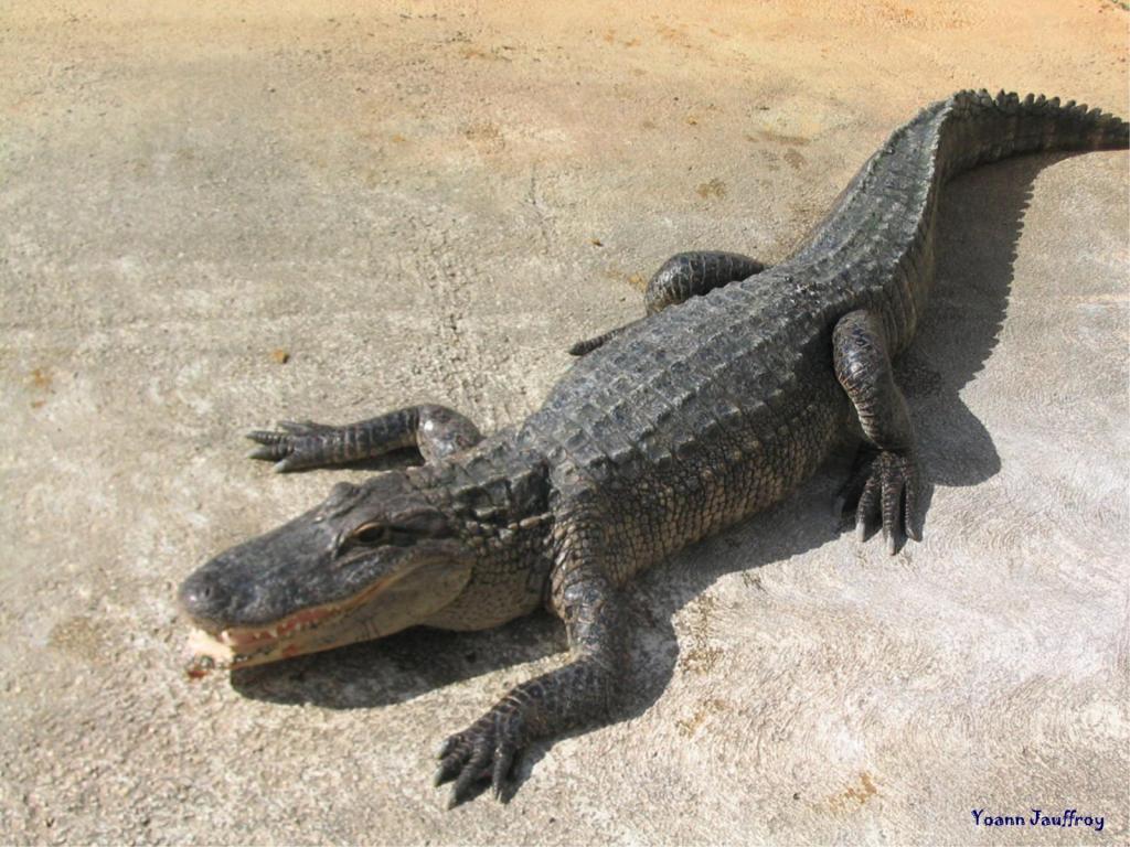 Wallpaper crocodile animaux fond d 39 cran - Jeux de crocodile sous la douche gratuit ...