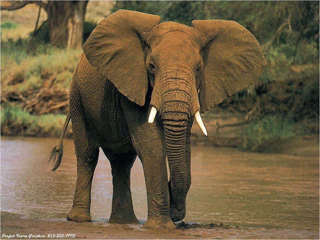 Wallpaper elephant animaux fond d 39 cran - Elephant a imprimer ...
