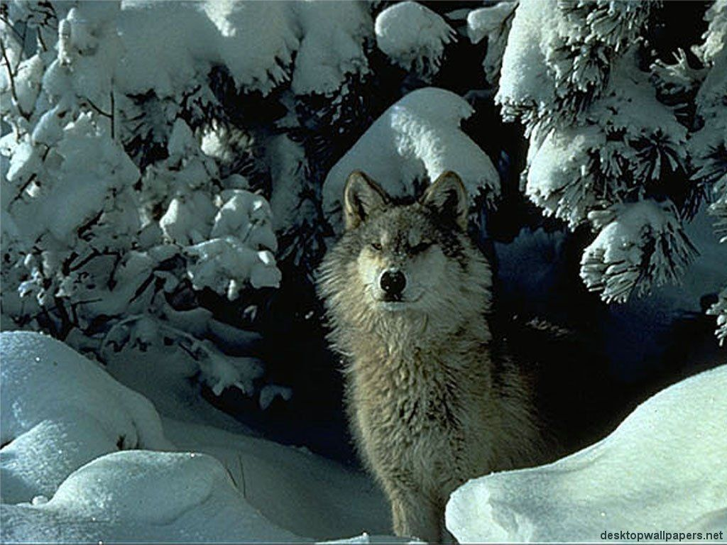 wallpaper loup fond - photo #21