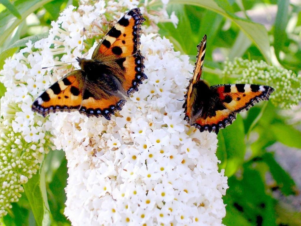 wallpaper papillon animaux fond d 39 cran. Black Bedroom Furniture Sets. Home Design Ideas