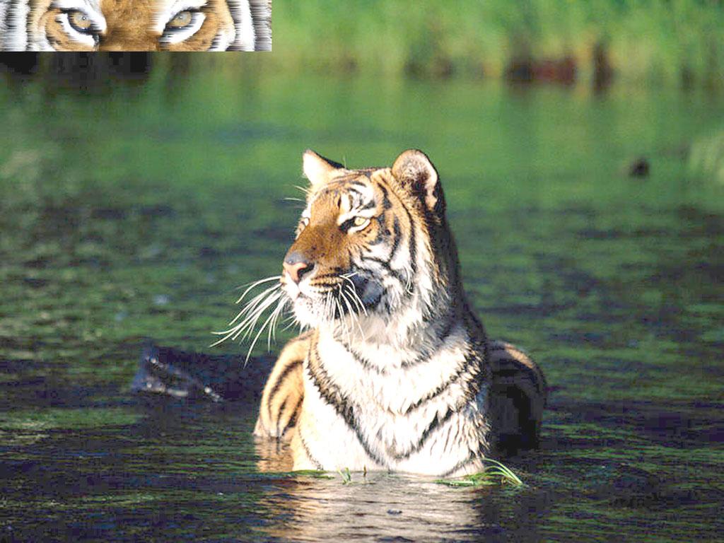 Wallpaper tigres animaux fond d 39 cran - Animaux wallpaper ...