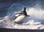 Baleines N°4869 wallpaper provenant de Baleines
