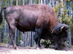Bison N°4877 wallpaper provenant de Bison