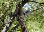 Girafe N°5091 wallpaper provenant de Girafe