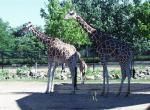 Girafe N°5094 wallpaper provenant de Girafe