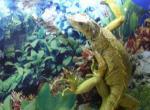 Iguane N°5126 wallpaper provenant de Iguane