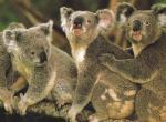 Koala N°5130 wallpaper provenant de Koala