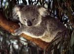 Koala N°5131 wallpaper provenant de Koala