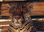 Leopard N°5151 wallpaper provenant de Leopard