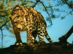 Leopard N°5157 wallpaper provenant de Leopard