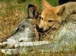 Loup wallpaper de wiridu provenant de Loup