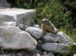 Marmotte N°5223 wallpaper provenant de Marmotte