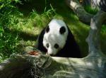 Panda N°5282 wallpaper provenant de Panda