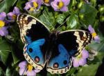 Papillon N°5296 wallpaper provenant de Papillon