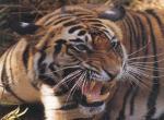 Tigres wallpaper de daradux provenant de Tigres
