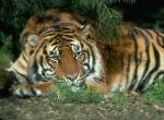 Tigres N°5472 wallpaper provenant de Tigres