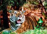 Tigres N°5473 wallpaper provenant de Tigres