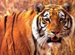 Tigres N°5474 wallpaper provenant de Tigres