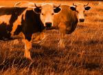 Vache N°5492 wallpaper provenant de Vache