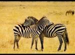 Zebres N°66 wallpaper provenant de Zebres