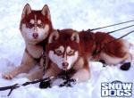 Snow Dogs N°6909 wallpaper provenant de Snow Dogs