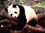 Panda N°8213 wallpaper provenant de Panda