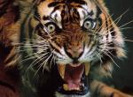 Tigres N°9491 wallpaper provenant de Tigres